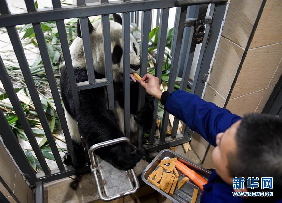 零下15摄氏度 大熊猫这样过冬!