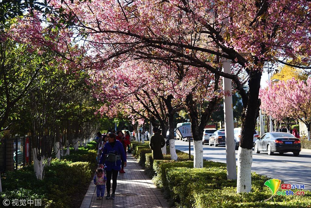 昆明冬樱花绽放街头 粉如霞美如画