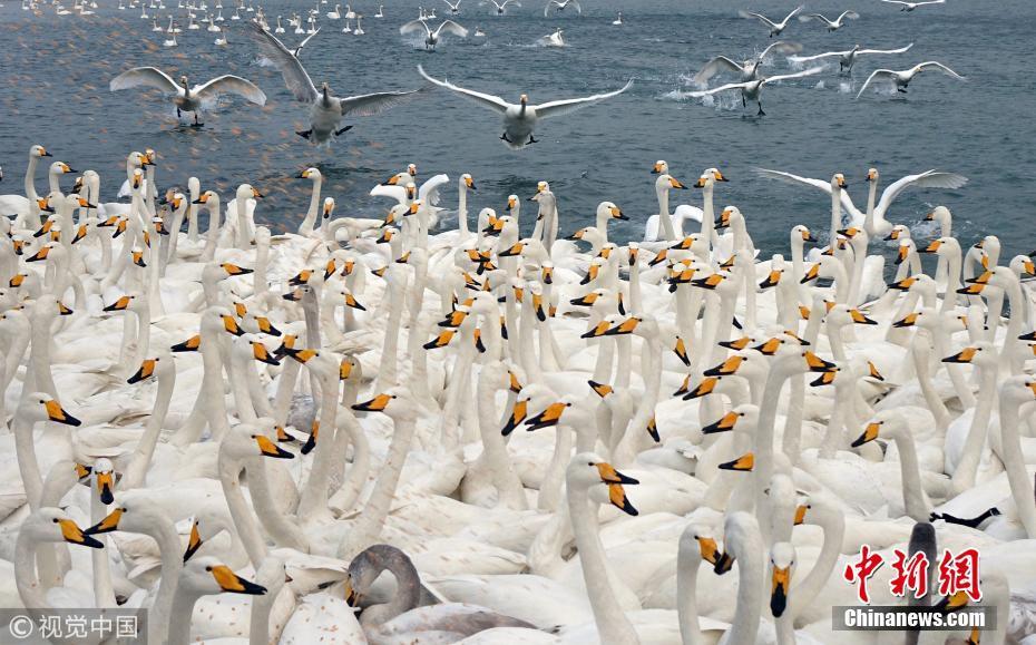 天鹅成群结队越冬威海 吸引大批游客