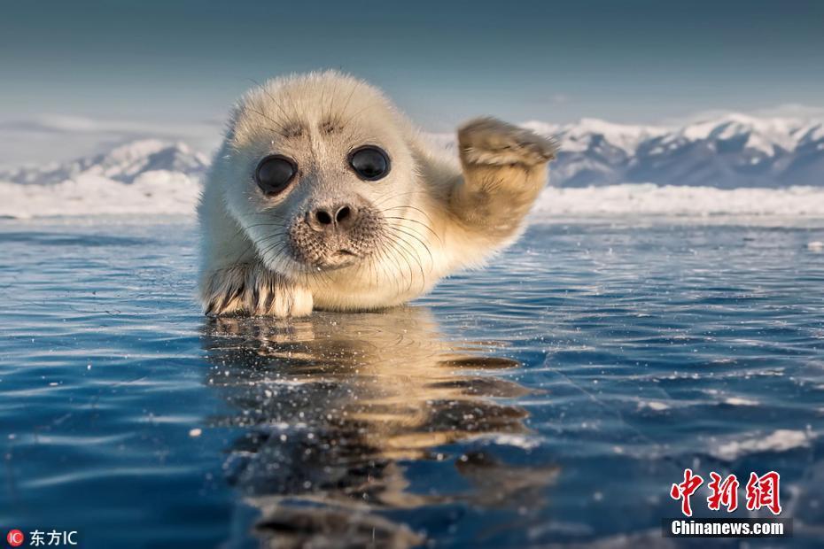 萌你一脸!大眼小海豹趴在冰上对镜头招手致意