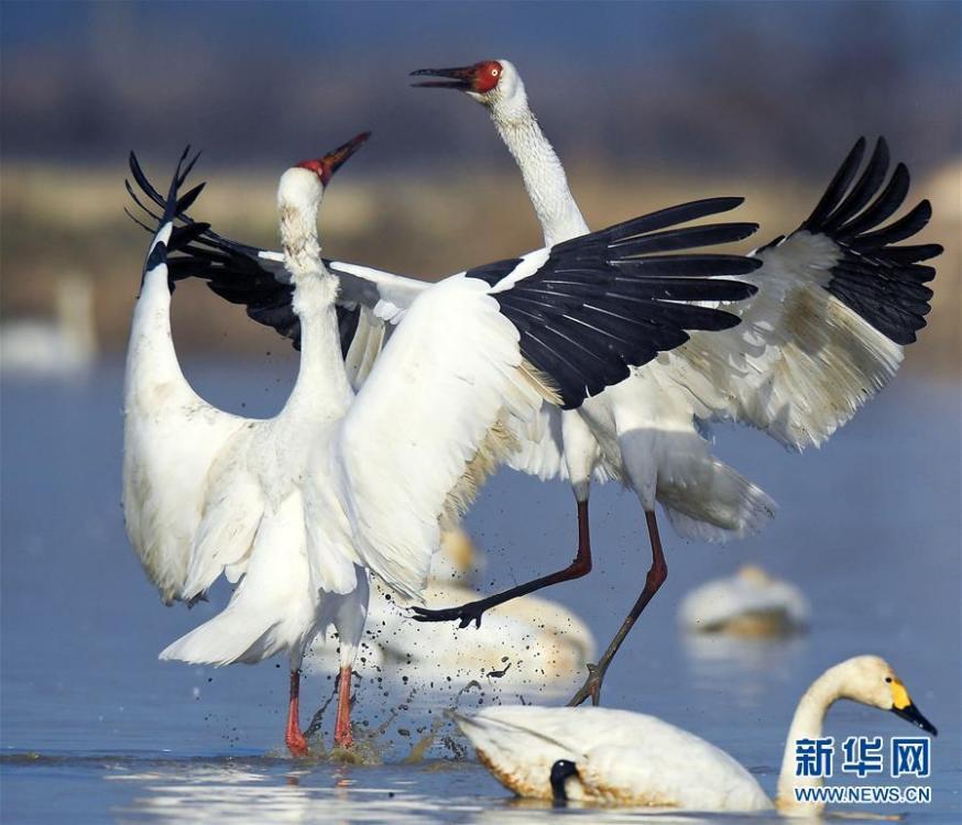 国家一级保护动物白鹤现身鄱阳湖