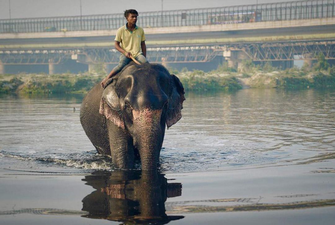 印度新德里污染严重 大象生存艰难