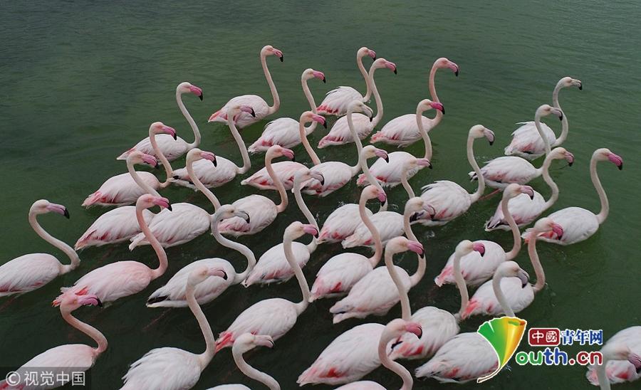 土耳其火烈鸟湖面游弋 优美身姿如出水芙蓉