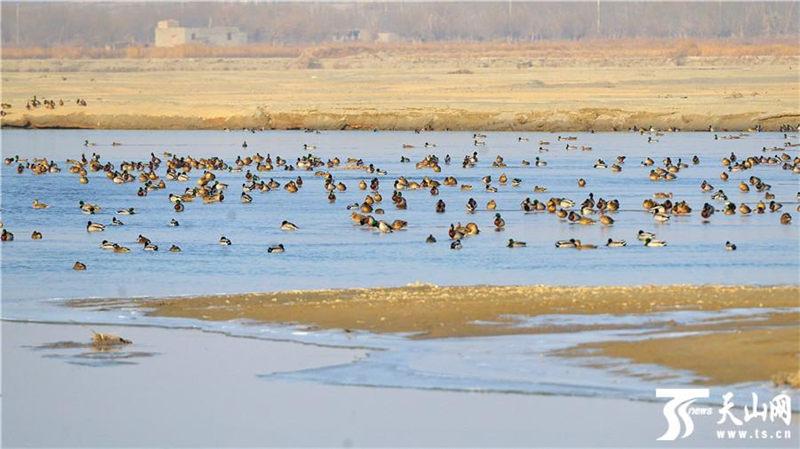 阿克苏河成大批野鸭越冬栖息地