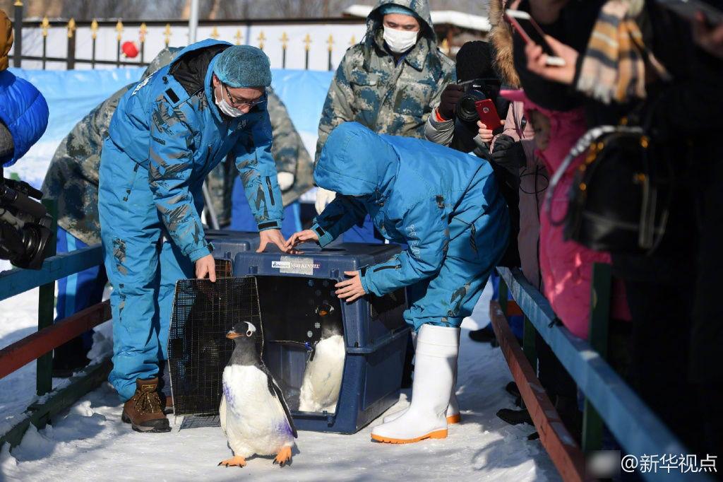 """哈尔滨:企鹅走出极地馆""""透气""""引围观"""