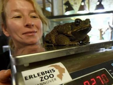 """德国动物园年度盘点 为动物""""体检""""测身高体重"""