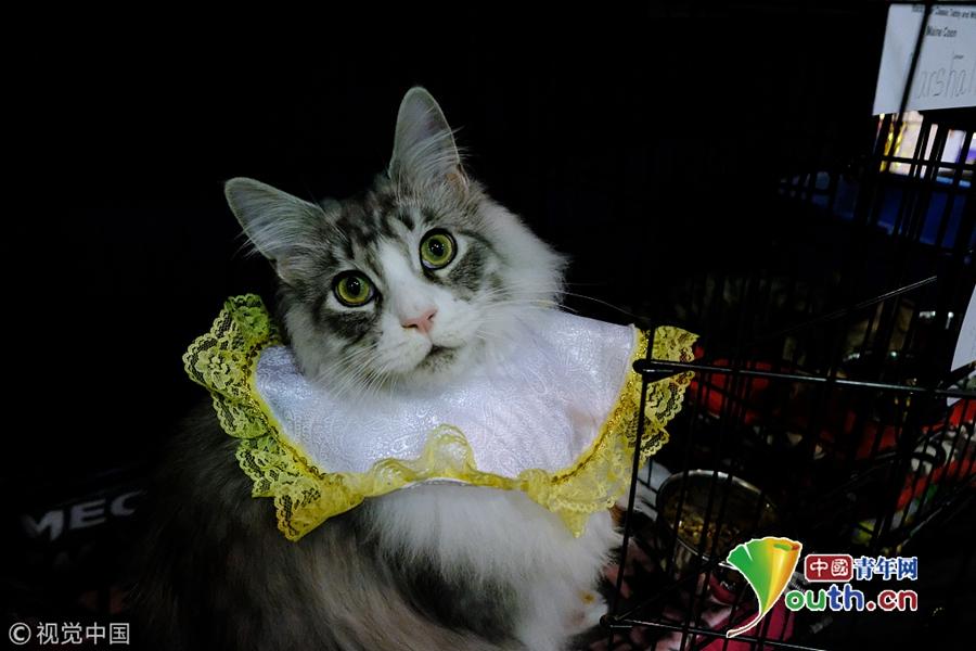 美国猫展网罗超萌纯种猫 你认识几种?