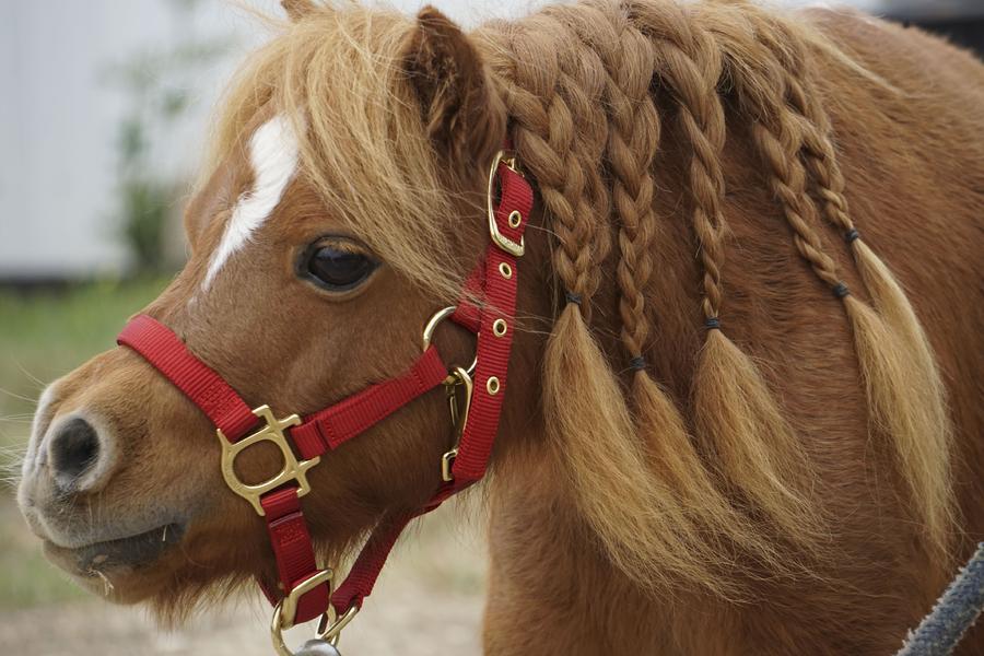 小马梳着麻花辫 身高53厘米成世界最矮马