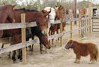 世界最矮马身高53厘米