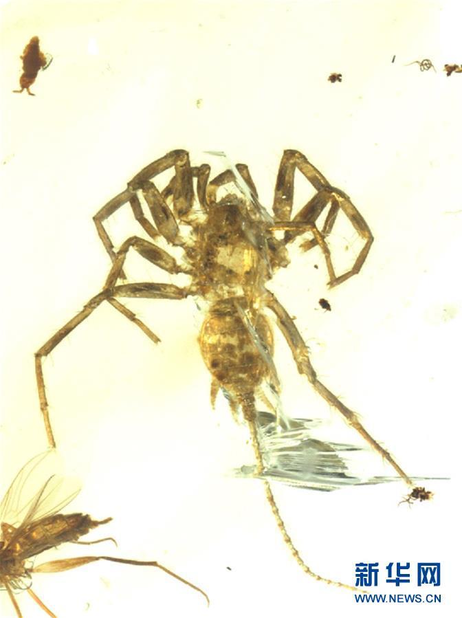 研究发现1亿年前远古蜘蛛长有尾巴