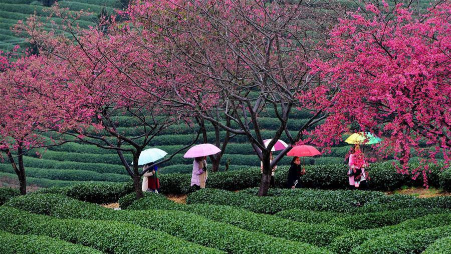 茶园樱花绿映红