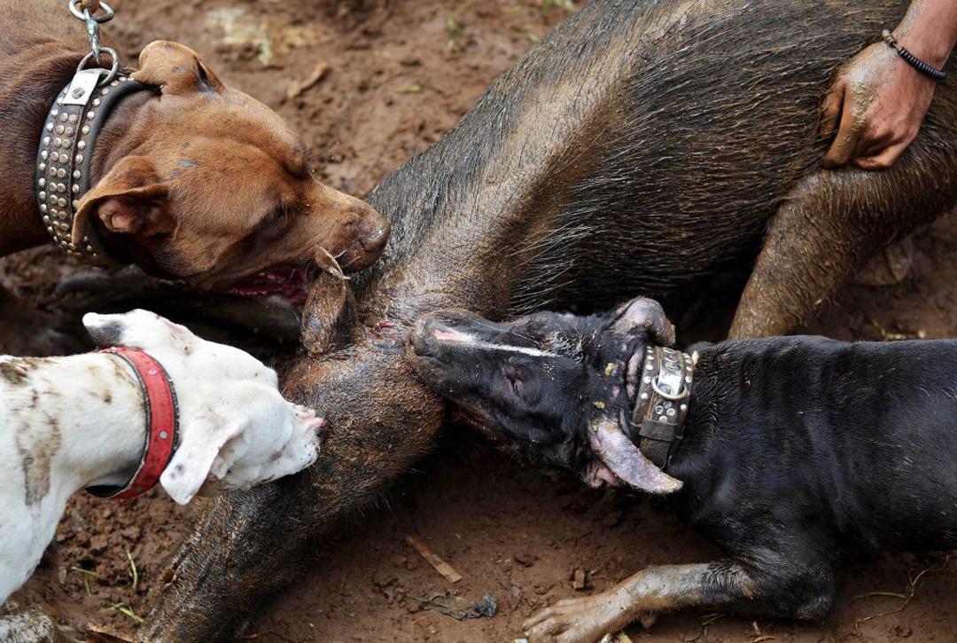 野猪是保护动物么
