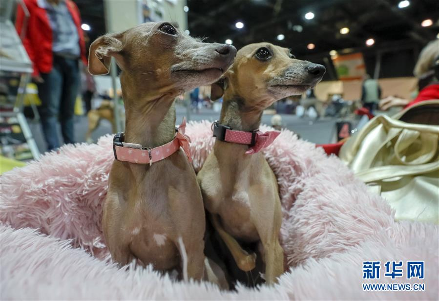 德国奥芬堡举办国际纯种狗展