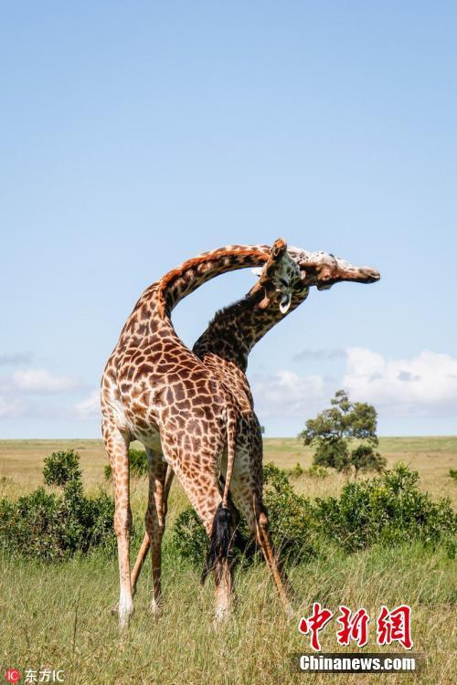 """非洲长颈鹿打架现""""锁喉功"""""""