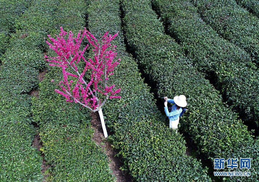陕西紫阳:春分时节上茶山