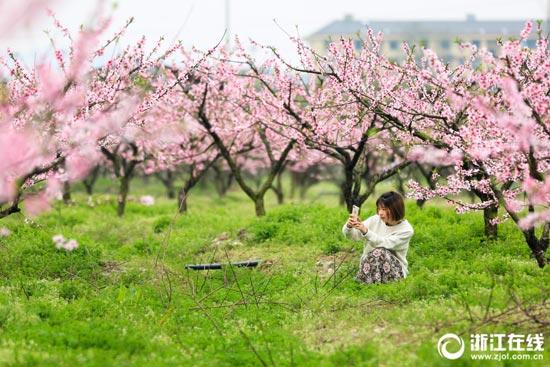 宁波:桃花灼灼映春色