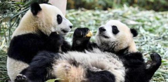 熊猫也健身!荷兰动物园正在为大熊猫受孕做准备