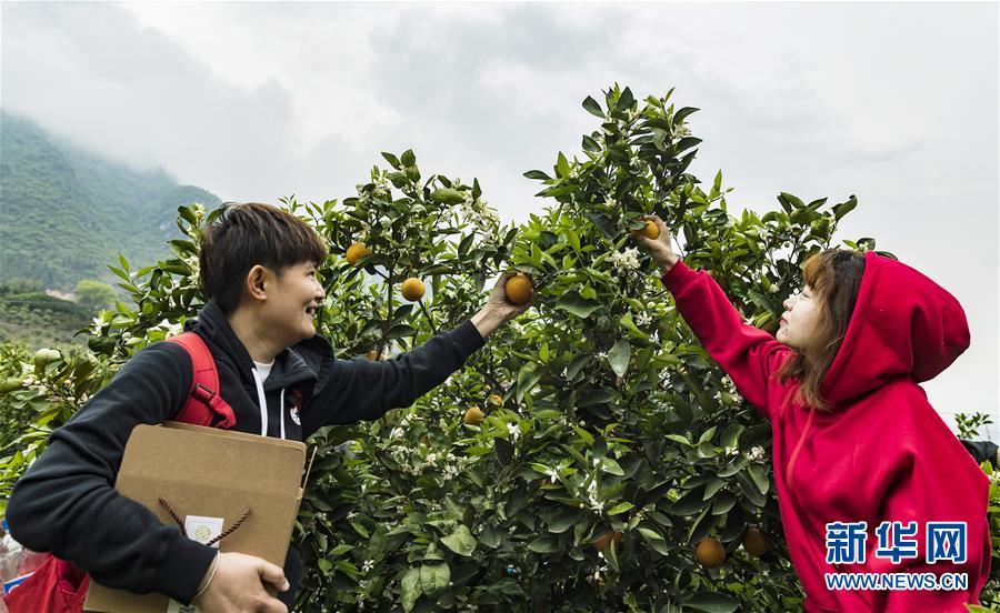湖北秭归:脐橙采摘乐