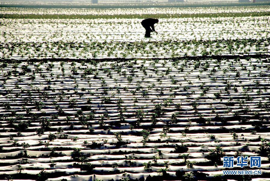 """山东枣庄:""""节水种植""""助旱区农民增收"""