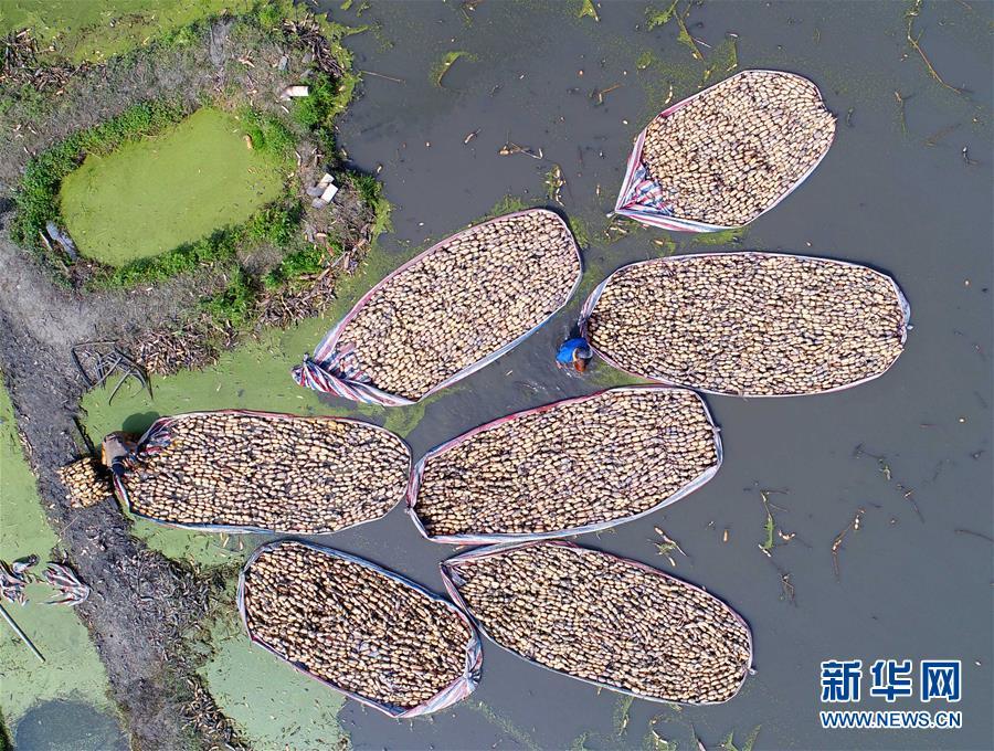 江苏海安:藕农水上采收忙