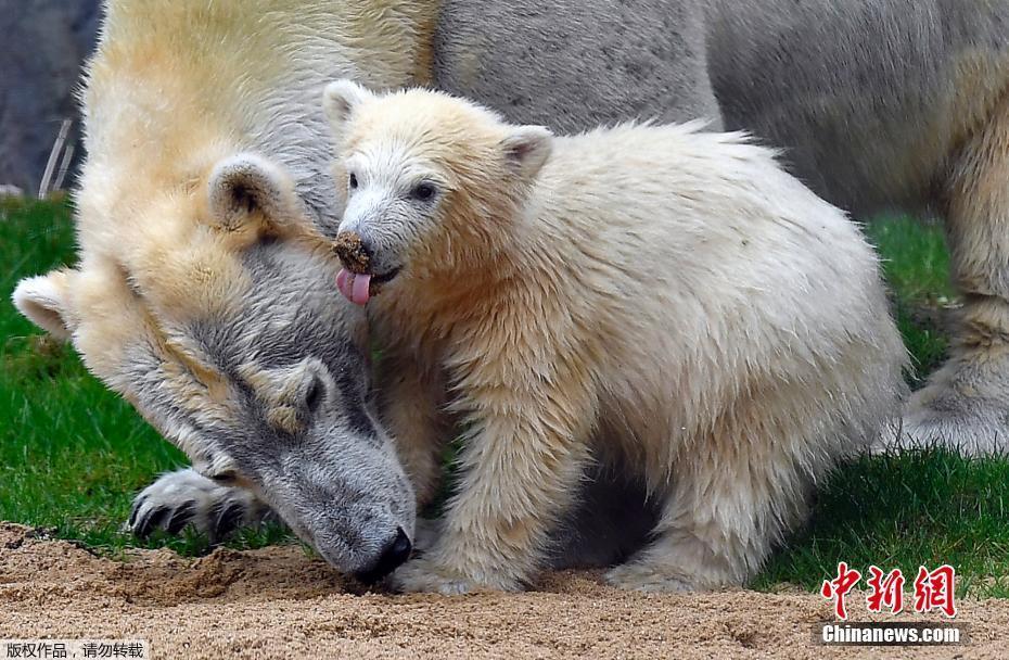 """德北极熊宝宝首次出洞""""探险"""" 寸步不离妈妈"""