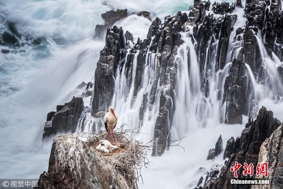 葡萄牙白鹳海边悬崖筑巢 悠闲整理羽毛