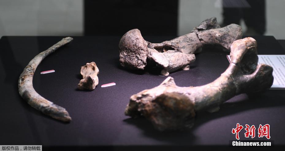 菲律宾展出一具古代犀牛化石 距今约71万年