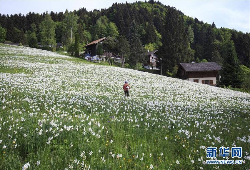 """瑞士蒙特勒盛开""""五月之雪"""""""