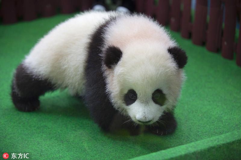 马来新生大熊猫宝宝首亮相 小手捂耳萌翻了