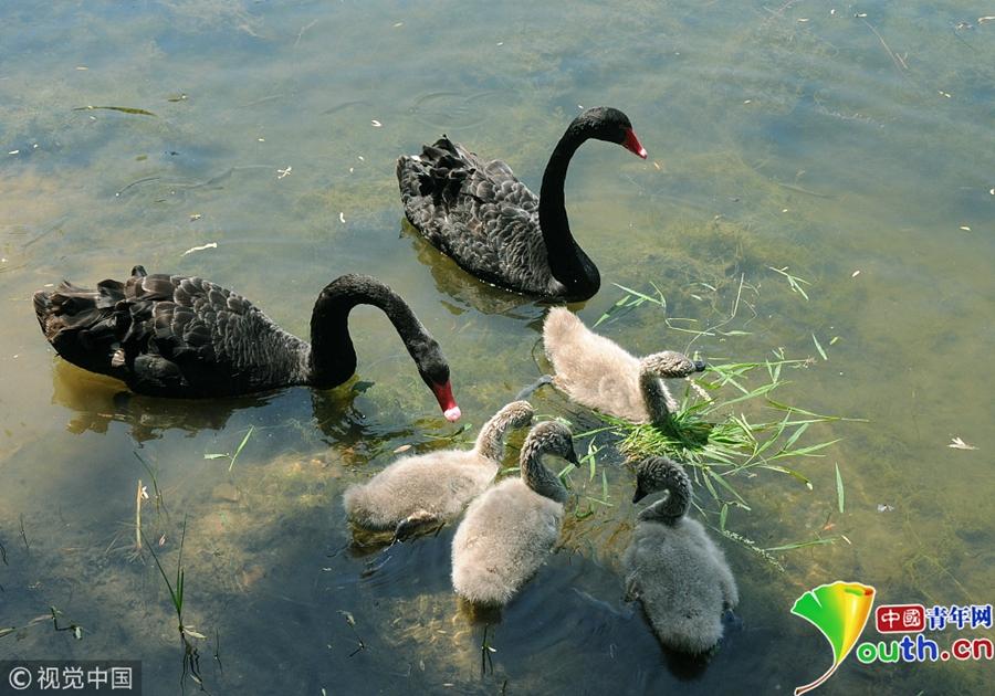 黑天鹅宝宝满月迎六一 湖中戏水呆萌可爱