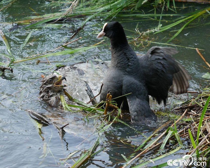 """母性战胜一切!荷兰一只黑鸭池塘中""""啄死""""入侵秃鹰"""