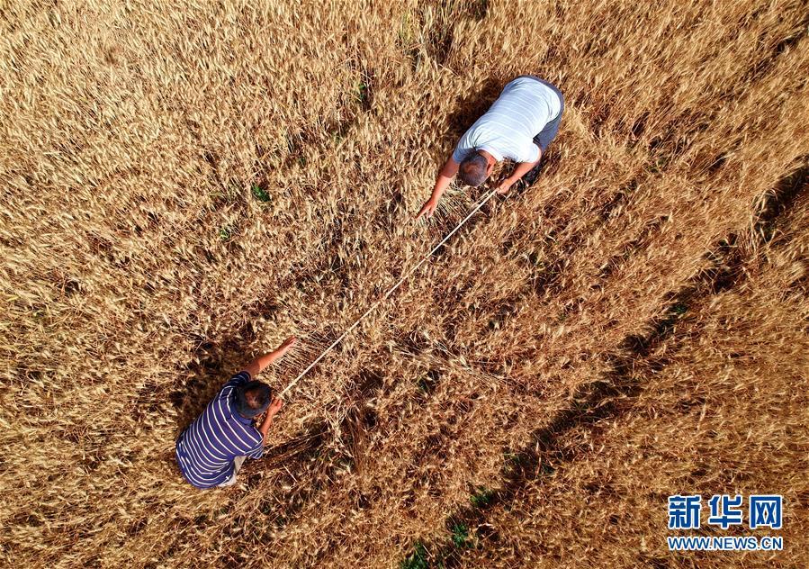 河北:小麦测产迎丰收