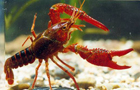 10万只小龙虾出征世界杯