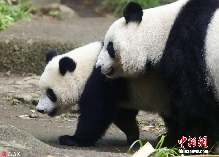 """旅日大熊猫宝宝""""香香""""迎1岁生日 与妈妈遛弯动作同步"""
