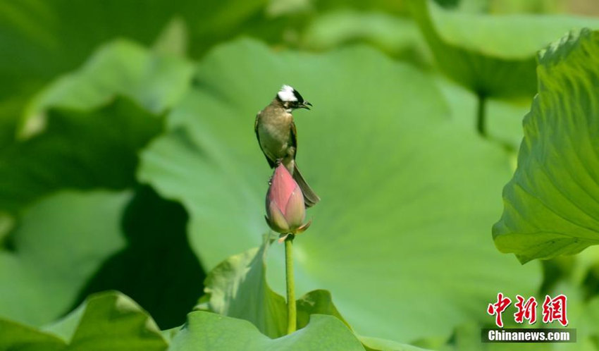 """小鸟""""戏荷图"""""""