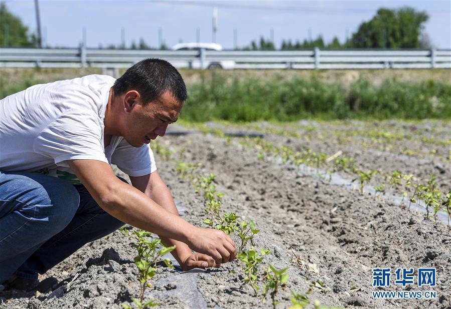 新疆塔城:多元化种植助力乡村振兴