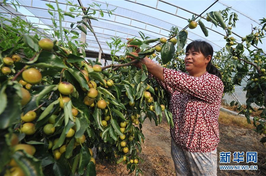 河北青县:冬枣种植拓宽增收路