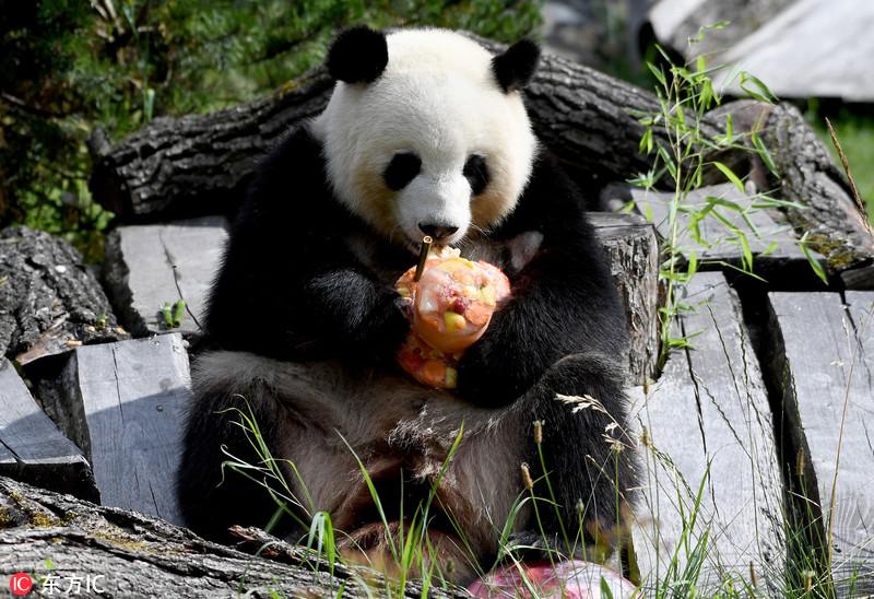 """旅德大熊猫""""梦梦""""迎5岁生日 开心享用冰镇蛋糕"""