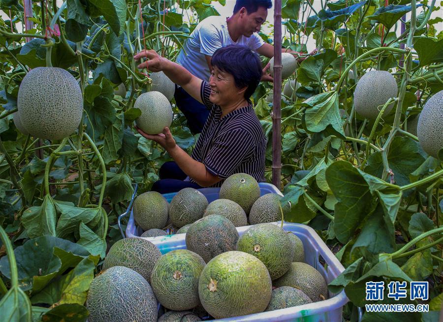 河北饶阳:订单式农业助农增收