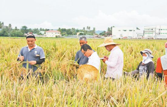 中国杂交水稻扎根菲律宾