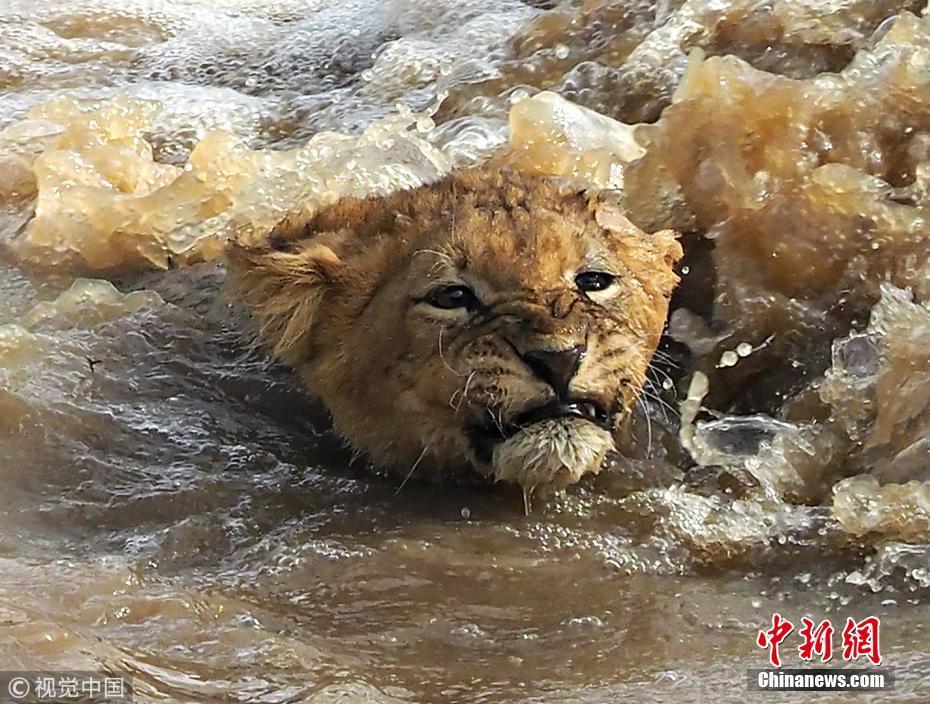 """动物雨季也""""遭灾"""" 狮群冒险渡河捕猎"""