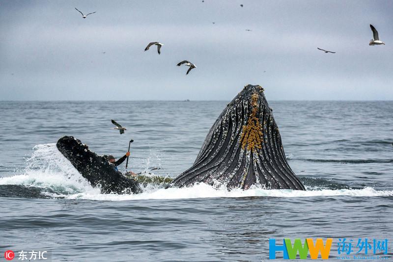 惊魂一幕!美国巨型座头鲸悄然出水险顶翻皮艇