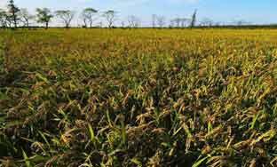崇明生态稻米将走上餐桌