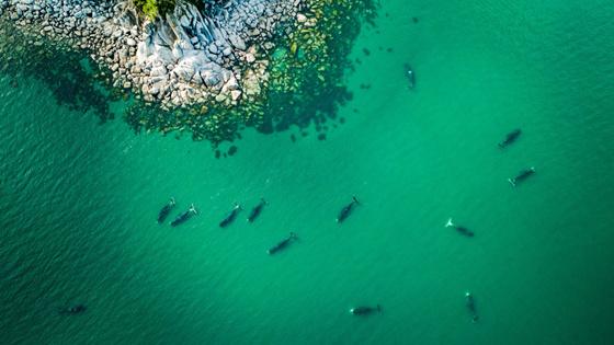 航拍俄罗斯海湾克弓头鲸 巨兽与冲浪者和谐同游