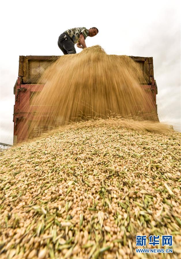 新疆:天山麦海 开镰收割
