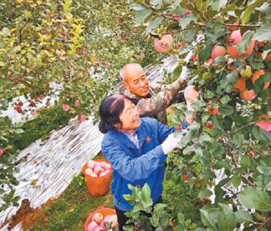 二仙坡苹果满枝头