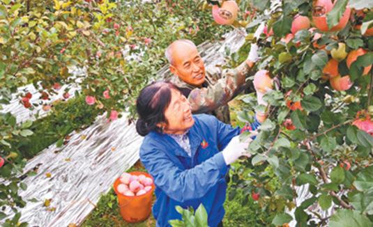 河南三门峡:二仙坡苹果满枝头
