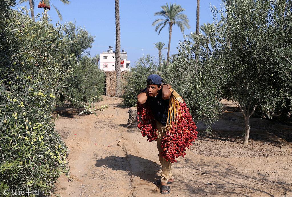 收获季节到来 加沙民众爬棕榈树收割椰枣