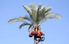 加沙民众爬棕榈树收椰枣