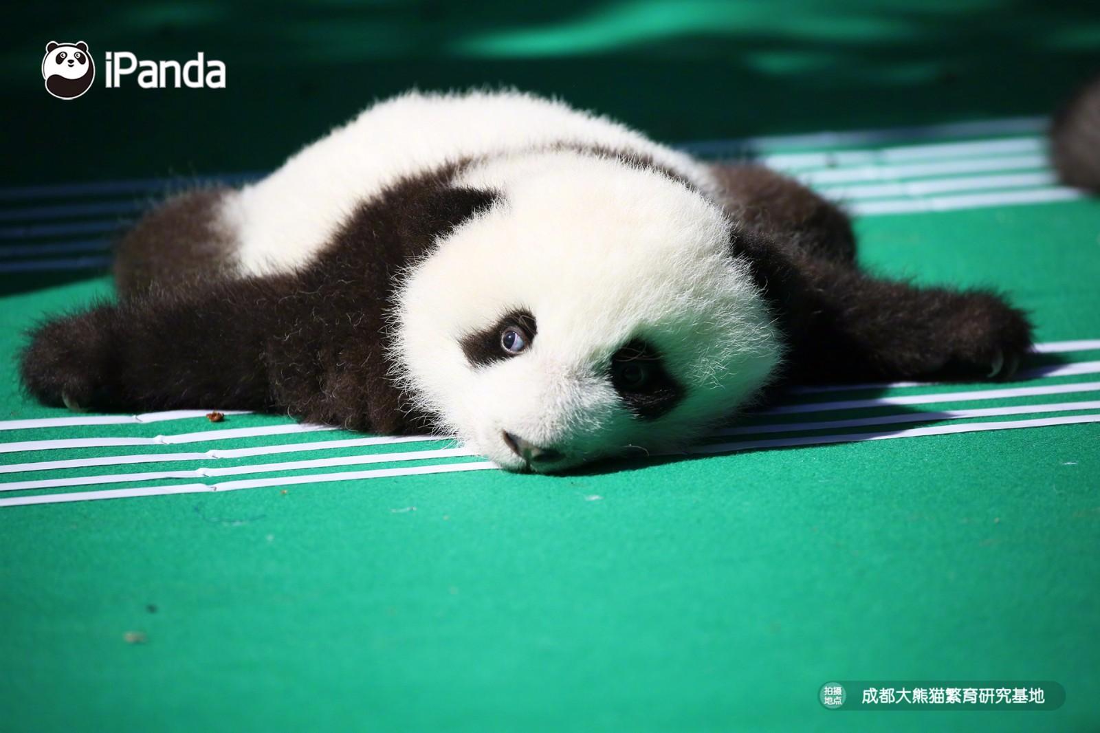 2018级新生熊猫宝宝亮相 送你超萌冲击波